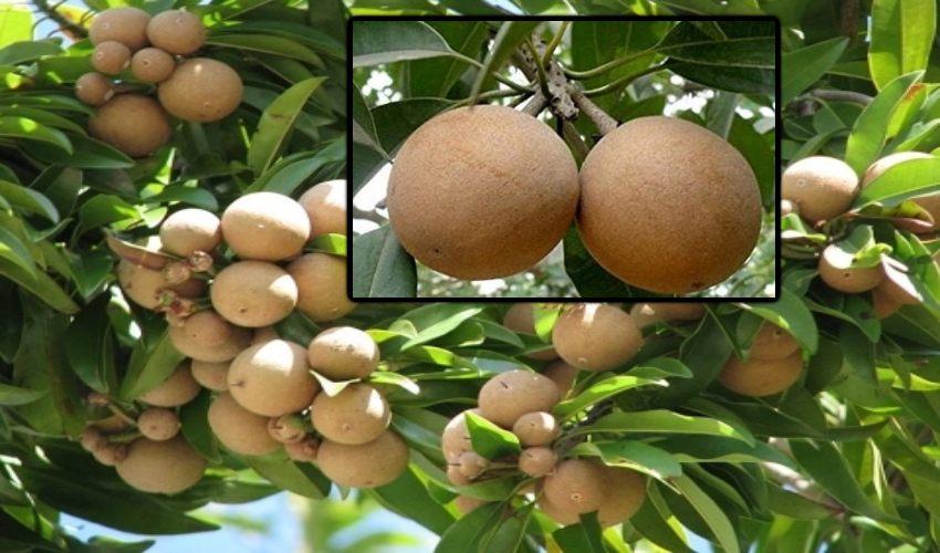 Sapota Cultivation : సపోటా సాగులో తెగుళ్ళు, చీడపీడల నివారణ