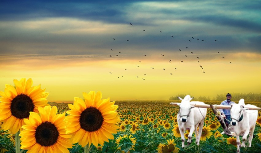 Sunflower Cultivation :  పొద్దుతిరుగుడు సాగులో అధిక దిగుబడులకోసం…