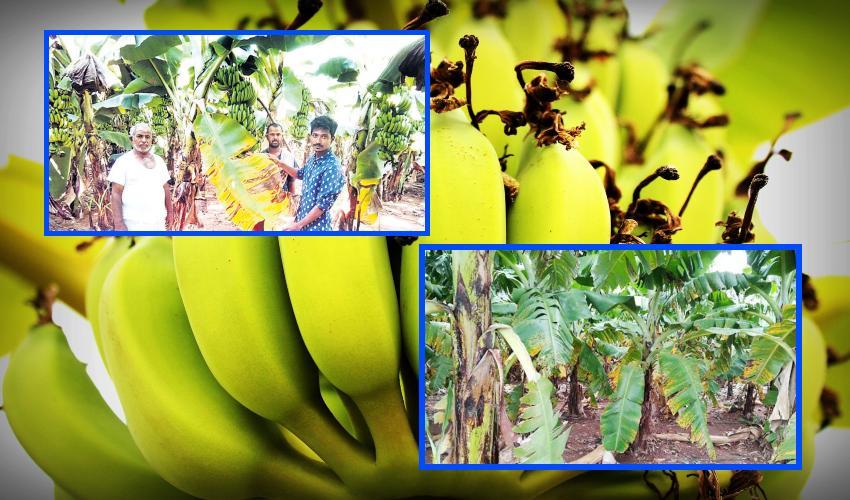 Bananas : అరటిలో సిగటోక తెగుళ్ళు.. ఆందోళనలో గోదావరి ప్రాంత రైతులు