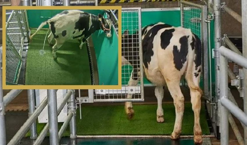 https://10tv.in/international/cows-using-urinals-like-humans-to-prevent-greenhouse-gases-276876.html